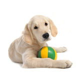 Puppy golden retriever Royalty Free Stock Photography