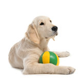 Puppy golden retriever Royalty Free Stock Image
