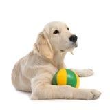 Puppy golden retriever Royalty Free Stock Image