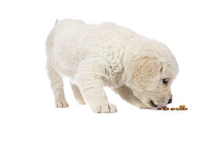 Puppy  Golden Retriever Stock Image
