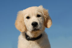 Puppy golden retriever Royalty Free Stock Photos