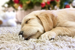 Puppy golden retriever asleep Stock Images
