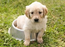 Puppy, Golden Retriever, Dog Stock Photography