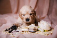 Puppy Golden Retriever lying on beige organza Stock Images