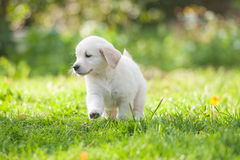 Puppy of Golden retriever Royalty Free Stock Image