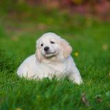Puppy of Golden retriever Stock Images