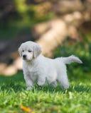 Puppy of Golden retriever Royalty Free Stock Photos