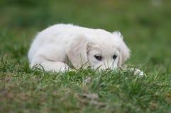 Puppy of Golden retriever Royalty Free Stock Photo