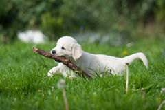 Puppy of Golden retriever Royalty Free Stock Photo