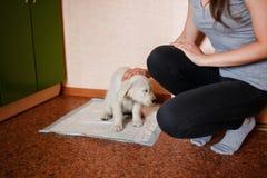 Puppy of the golden retriever stock image