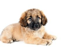 Puppy of a golden retriever shepherd Stock Photos