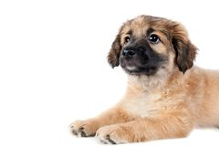 Puppy of a golden retriever shepherd Royalty Free Stock Image