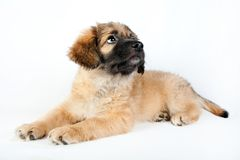 Puppy of a golden retriever shepherd Stock Images