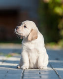Puppy of Golden retriever Royalty Free Stock Photos
