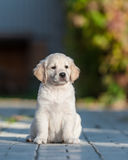 Puppy of Golden retriever Stock Image