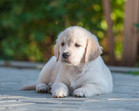 Puppy of Golden retriever Royalty Free Stock Images