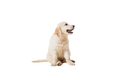 Puppy golden retriever on a white background. Isolated Royalty Free Stock Photos