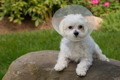 Puppy got sick. Small puppy of maltese dog got sick and have to wear a protection collar Royalty Free Stock Photo