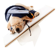 Puppy graduating from school Stock Images