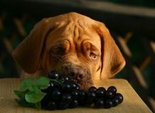 Puppy with grapes. Puppy of breed a mastiff from a Bordeaux with grapes Royalty Free Stock Image