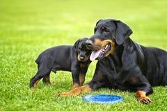 Puppy in gras met zijn moeder Doberman royalty-vrije stock foto's