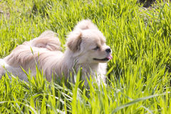 Puppy  in grass. Single puppy lies in a green grass lawn with her head up tongue out her mouth Royalty Free Stock Photography