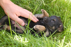 Puppy in grass Royalty Free Stock Images