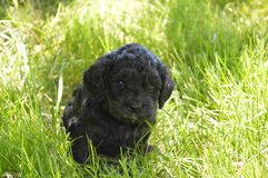 Puppy in Grass. Beautiful Cavapoo puppy in sunny grass Stock Image