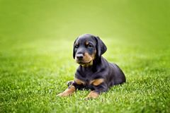 Puppy in grass doberman. Puppy in grass. Black and brown Doberman lying in green grass in sunny day stock photos