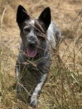 Puppy in the grass. A blue heeler Australian cattle dog sitting in the Stock Photos