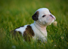 Puppy in the grass Royalty Free Stock Photo