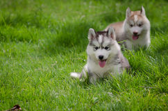 Puppy on grass Royalty Free Stock Photography
