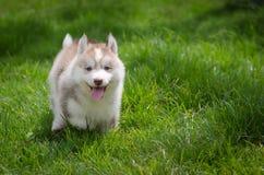 Puppy on grass. Cute siberian husky puppy on grass Royalty Free Stock Photo