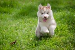Puppy on grass. Cute siberian husky puppy on grass Stock Photos