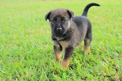 Puppy in the grass. This cute puppy stands in the grass in Papua New Guinea Royalty Free Stock Images