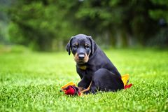 Puppy in grass doberman. Puppy in grass. Black and brown Doberman lying in green grass in sunny day stock photo