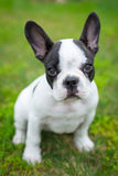 Puppy on the grass Royalty Free Stock Photography