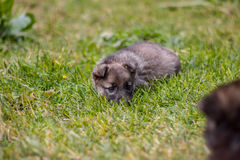 Puppy on grass Stock Photography