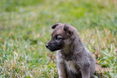 Puppy on grass Royalty Free Stock Image