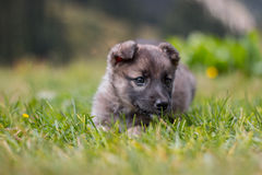 Puppy on grass Royalty Free Stock Photos