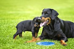 Puppy in grass with his mother Doberman. Puppy is playing with his mother. He is a black and brown doberman and he is on the garden or park. Background is green royalty free stock photos