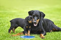 Puppy in grass with his mother Doberman. Puppy is playing with his mother. He is a black and brown doberman and he is on the garden or park. Background is green stock photo