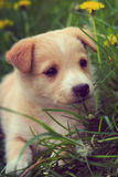 Puppy in the grass Royalty Free Stock Photography