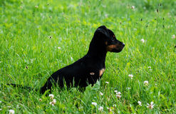 Puppy in the grass. Little pappy in the green grass stock photo