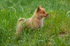 Puppy on the grass. Red puppy on the grass Royalty Free Stock Images