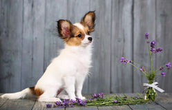 Puppy on a gray background Royalty Free Stock Images