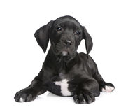 Puppy Great Dane (2 months) Royalty Free Stock Photos