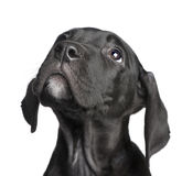Puppy Great Dane (2 months) Royalty Free Stock Image