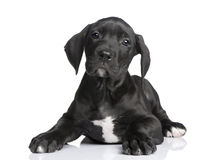 Puppy Great Dane (2 months) Royalty Free Stock Photo