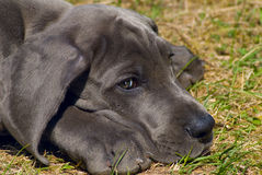 Puppy of great dane Stock Image